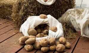Срок хранения картофеля: условия хранения и параметры годности, сколько максимально можно держать картошку в мешке, как долго она остается свежей