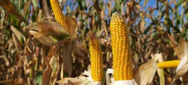Как понять, что созрела кукуруза: сколько зреет овощ, когда поспевает, как определить спелость по признакам