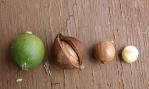 Куда применять скорлупу ореха макадамия – что делают из шелухи, как можно ее использовать, состав и свойства