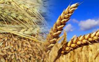 Пшеница полба: что это такое, в чем разница между полбяной крупой и обычной пшеницей, куда её применяют