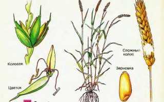 Колоски пшеницы: как они выглядят и называются и сколько зерен есть в одном колосе, его размеры, из чего состоит