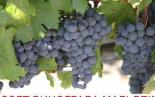 Мальбек – сорт винограда: описание и характеристики, краткая история появления в Аргентине, особенности посадки и ухода