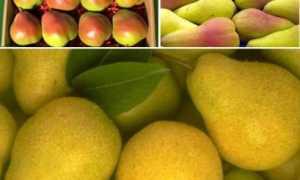Как хранить груши в домашних условиях, можно ли выкладывать вместе с яблоками или виноградом, как сохранить фрукты на зиму до Нового года