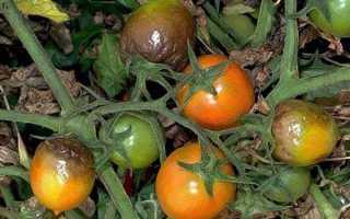 Опрыскивание помидоров против фитофторы в теплице и в земле, как уберечь помидоры от болезней