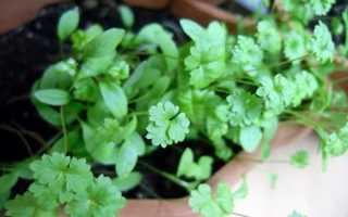 Петрушка на подоконнике: как вырастить зелень в домашних условиях зимой и летом, особенности выращивания в горшке и на гидропонике