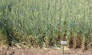 Пшеница Юка: характеристика и описание озимого сорта, особенности выращивания, преимущества и недостатки, отзывы