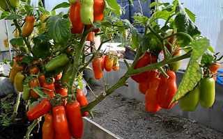 Томат Жиголо: описание сорта помидоров, отзывы о нем, фото выращенного урожая и секреты ухода от опытных дачников