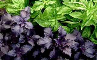 Базилик фиолетовый: посадка семян, уход за рассадой, выращивание в открытом грунте, почему фиолетовый базилик зеленеет