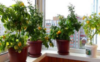 Как вырастить помидоры на балконе: пошаговая инструкция по выращиванию томатов в домашних условиях, учитывая нюансы (подготовка балкона, размер горшка и т.д.)