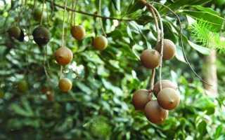 Что такое орех макадамия (австралийский орех) – полезные свойства, вред и противопоказания, отзывы и лечебные эффекты