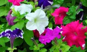 Как продлить цветение петунии в горшках (летом, на балконе), можно ли сделать это, если она уже отцвела