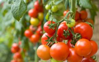 """Томат """"Клуша"""": характеристика и описание сорта помидор, отзывы и фото, урожайность"""