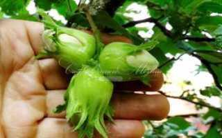 Как растет фундук: особенности посадки, выращивания и ухода, способы размножения куста