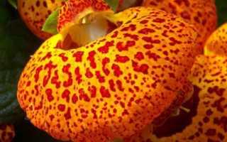 Выращивание кальцеолярии из семян: посадка рассады, уход, пикировка