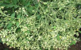 Томат Ильди: характеристика и описание сорта, отзывы кто сажал их и фото, урожайность гроздевых помидор