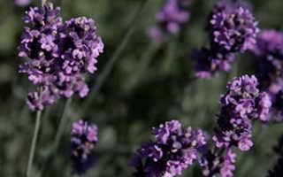 Лаванда: посадка и уход в грунт, выращивание из семян, фото
