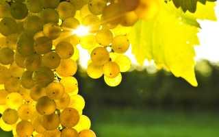 Сорта винограда для Подмосковья неукрывные: лучшие сладкие, ранние, среднеспелые, поздние, устойчивые к болезням, винные, морозостойкие для беседки