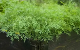 Инструкция, как вырастить укроп на подоконнике в квартире: как правильно посадить и ухаживать за зеленью в домашних условиях зимой и летом