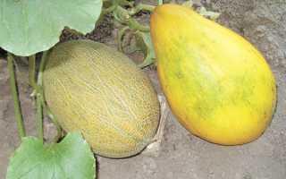 Узнаем, когда созревают дыни: сроки созревания, как понять, что плод поспел, сколько зреет фрукт и от чего зависит этот срок