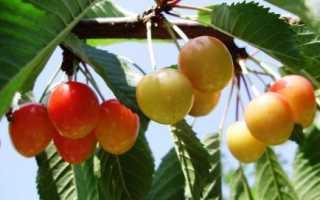 Вишневое дерево Франц Иосиф: Описание сортов, пыльцевых, фотографий, отзывы