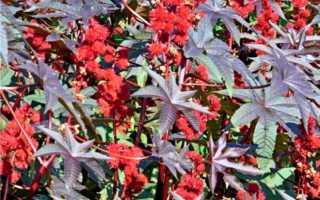 Как сажать клещевину в открытый грунт: выращивание из семян, особенности ухода