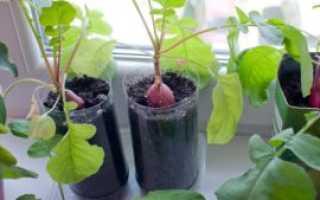 Редис на подоконнике зимой в домашних условиях: как посадить и вырастить редиску дома (на подоконнике или балконе), нюансы выращивания