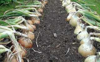 Лук порей: выращивание из семян за один сезон, как вырастить семена самостоятельно, полезные советы