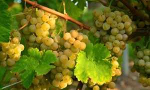 Алиготе: сорт винограда, описание и характеристики, какой у него вкус, делают ли из него вино, посадка и уход