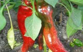 Перец Какаду (f1): описание сладкого гибрида, отзывы тех, кто его сажал, секреты ухода для высокой урожайности