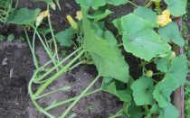 Причины, почему не цветет тыква: как заставить цвести, что делать, фото как цветет тыква
