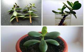 Денежное дерево (мухомор) черенкование, как укоренить лист
