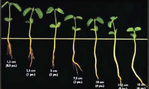 Технология выращивания сои в средней полосе – урожайность сои, выращивание в домашних условиях, нормы высева