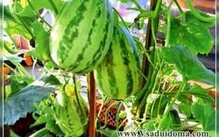 Огурдыня: что это такое, как её едят, выращивание и уход за огурцом, скрещенным с дыней, когда созревает плод и когда его можно собирать, сорта, фото и отзывы