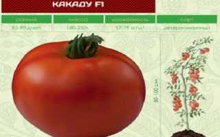 Томат Какаду f1: отзывы огородников, фото помидоров, рекомендации по их выращиванию на своём участке