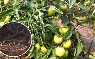 Бактериоз томатов в теплице: лечение бактериального увядания, фото болезни, проявления в виде гнили, пятнистости и других симптомов
