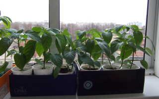 Выращивание рассады перца: как и когда высадить семена, как ухаживать за рассадой, чтобы она была крепкой и здоровой