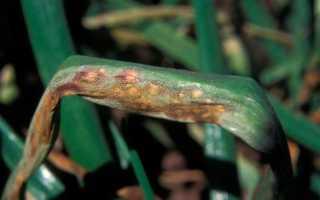 Болезни лука: описание с фотографиями и способы лечения репчатого вида, борьба с заболеваниями батуна при хранении, что делать, появился серый налет, плесень