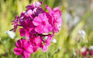 Как пересадить флоксы? Когда лучше: весна, лето или осень? Как пересадить цветущие флоксы с одного места на другое?