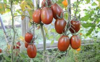 """Томат """"Черный мавр"""": характеристика и описание сорта, фото помидор и урожайность, отзывы"""