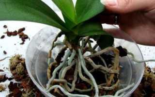 Можно ли пересаживать орхидеи осенью и когда лучше делать это в домашних условиях – в сентябре, октябре или ноябре?