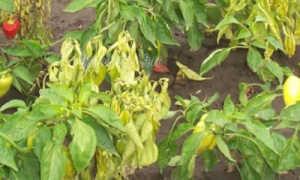 Почему на перце появились коричневые пятна на листьях: налет похож на сахар снизу, как лечить пятна на болгарском перце, чем обработать