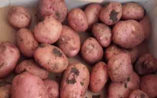Сорт картофеля Жуковский: описание и характеристика, отзывы, фото, выращивание, посадка и уход, показатели урожайности
