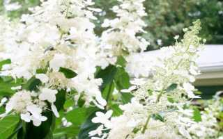 Гортензия метельчатая (Hydrangea panicula): посадка и уход, фото и названия сортов