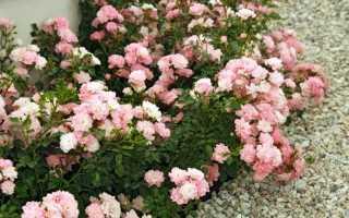 Зимостойкие сорта почвопокровных роз (82 фото): как выбрать морозостойкие плетистые розы для Подмосковья? Особенности вьющихся и других сортов, цветущих все лето