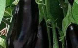 Epic F1 Баклажан: Отзывы садовников, Выращивание и недвижимость по уходу