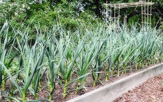 Выращивание чеснока на открытом воздухе: советы и правила