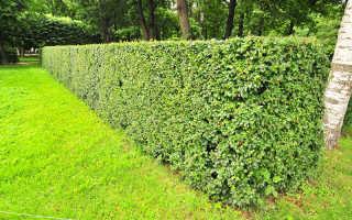 Как создать живую изгородь из блестящего дуба – рекомендации ландшафтных архитекторов