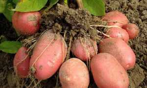 Картофель Эволюшн (Эволюшен): описание сорта, фото, отзывы о вкусовых качествах и сроках хранения, характеристика урожайности и советы по выращиванию и уходу