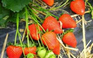 Земляника Ароза: описание и характеристика сорта садовой клубники, правила выращивания виктория и фото