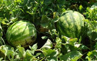 Чем подкормить арбузы: лучшие подкормки для рассады и посадок летом и осенью, какие удобрения увеличивают плоды, как выбрать лучший состав